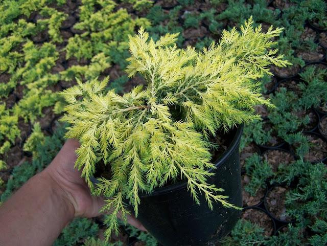 jałowiec pośredni - juniperus media Gold Star