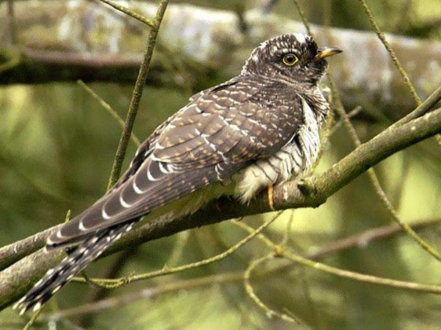 kukavica ptica