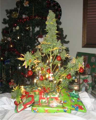 Christmas Tree Pot: Nothing To Do With Arbroath: German Police Seize Marijuana