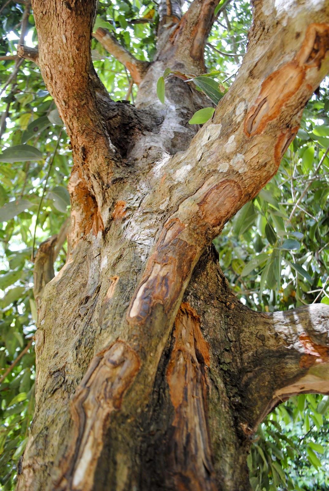 cinnamon tree -#main