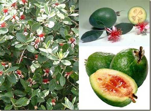 Amici in allegria frutta esotica n 1 for Pianta feijoa