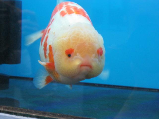 Malaysia KLCC Aqua Fair , Ranchu | Aquarium , Arowana,Freshwater fish
