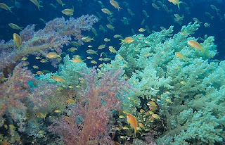 Pastel soft corals in the Red Sea