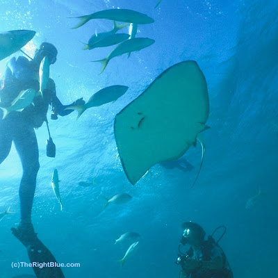 Divers watch a Southern Stingray (Dasyatis americana) in the Cayman Islands