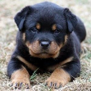Perro Mimoso Todo Sobre Los Perritos Raza Rottweiler