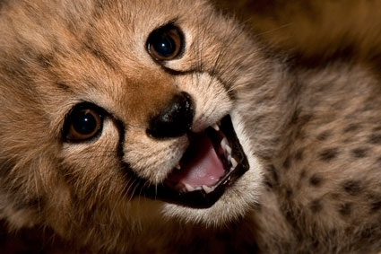 edge of the plank cute animals baby cheetah cubs