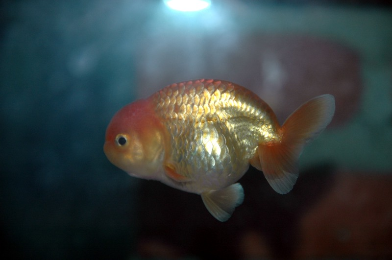 Pictures of Baby Ranchu Goldfish - #rock-cafe