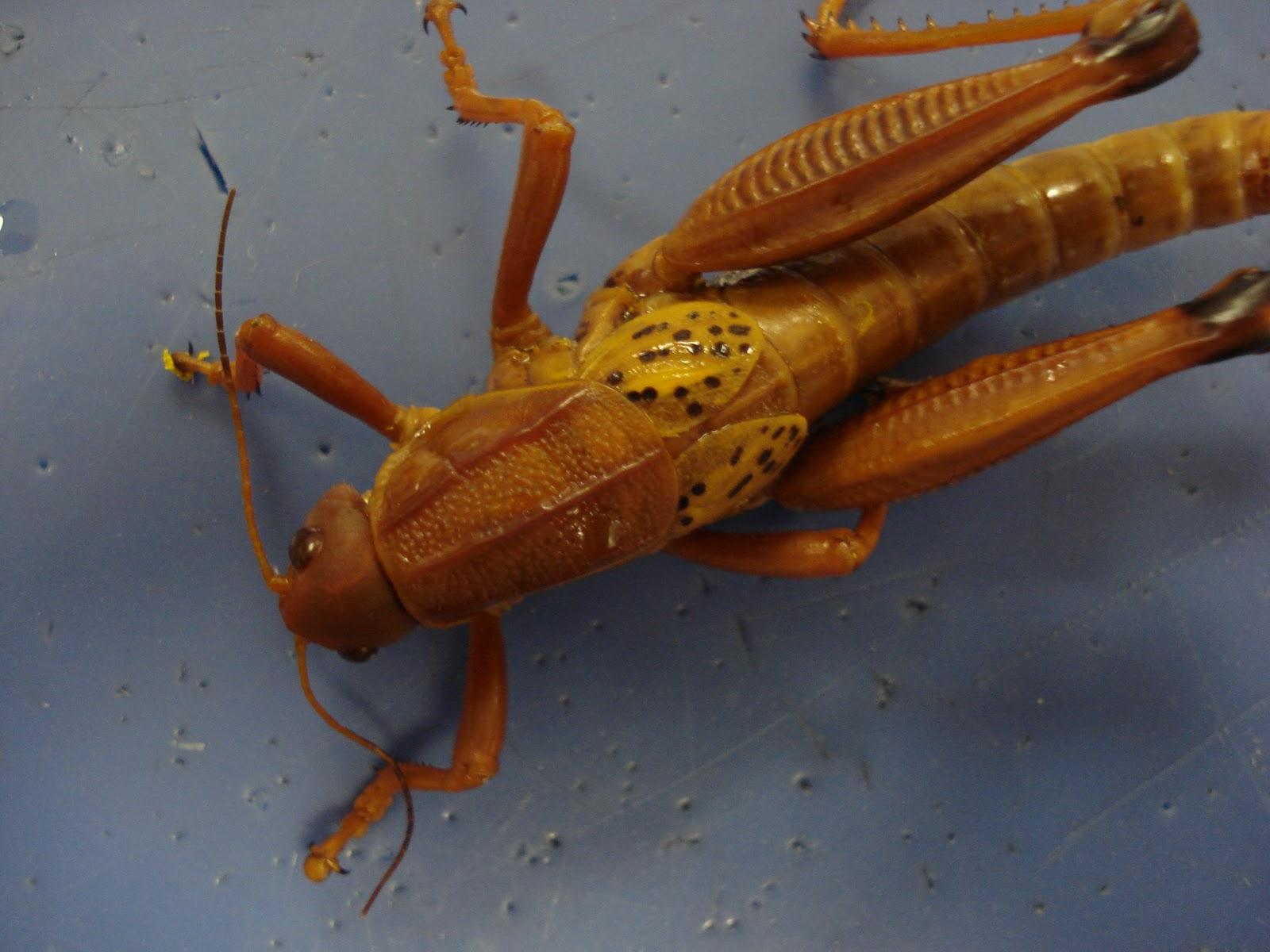 Rebekah S Dissection Log Land Lubber Grasshopper Dissection