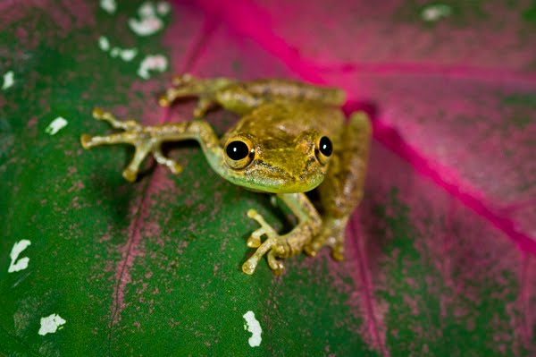 Olive Tree Frog In Costa Rica Scinax Elaeochrous