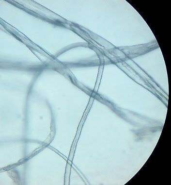 Cotton fibers. Magnification - 450 Times.