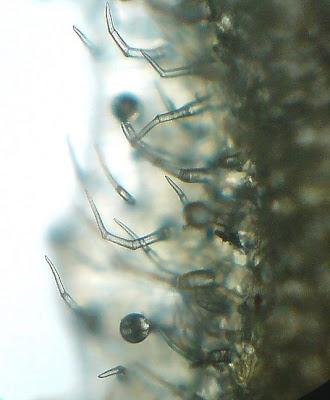 Leaf Hairs - trichomes
