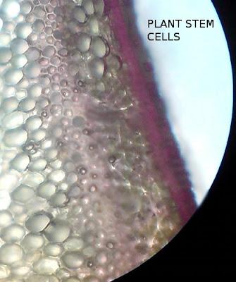 Plant Stem Cells -Cross Section