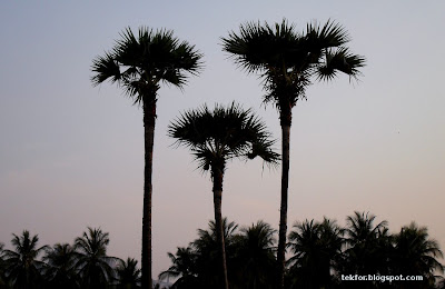 Palmyra Palm trees.