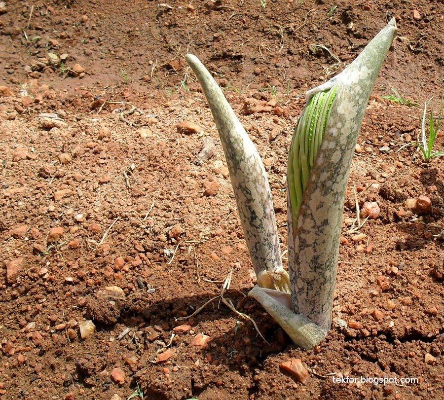 Blue Sky: The Plant With a Strange Name - Elephant foot Yam