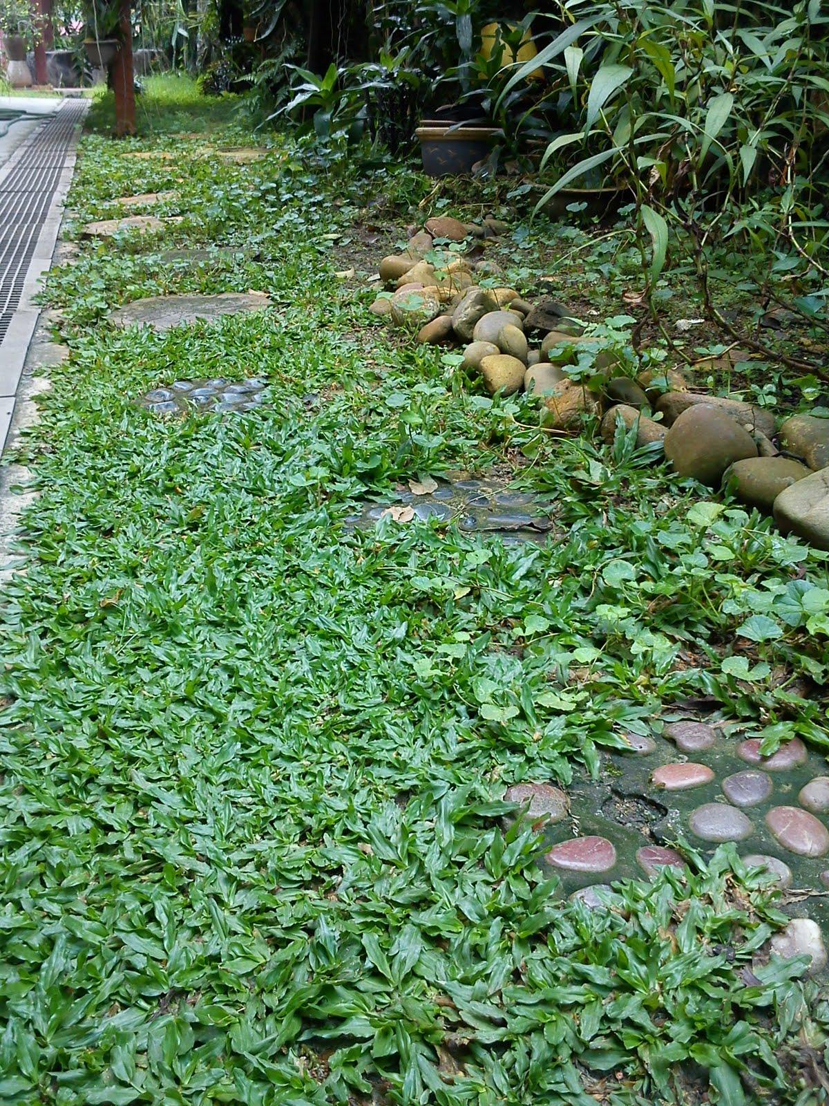 Impiana Iman Rumput Mutiara Pearl Grass Cara menanam rumput mutiara