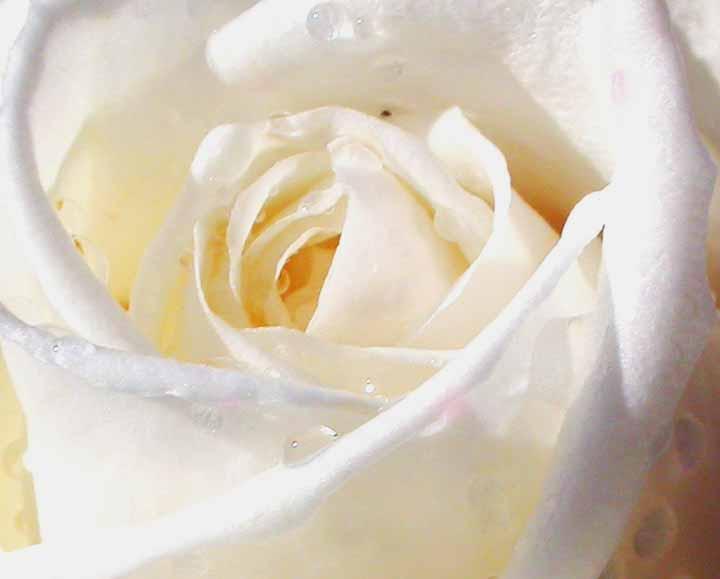 Emi-licious: White Roses