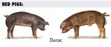 Cerdo y Cerda Duroc Jersey para carnes magras