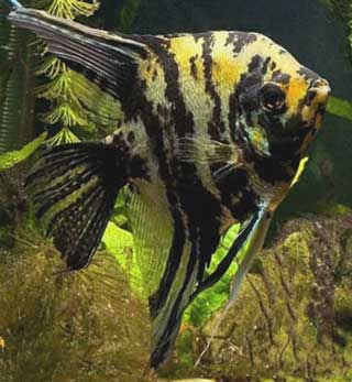 Beautiful Maanvis Pictures Angel Fish Exotic Tropical