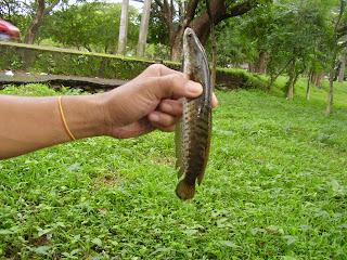 snakehead fish t shirts