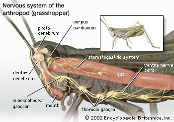 ventral nerve cord in crustacea