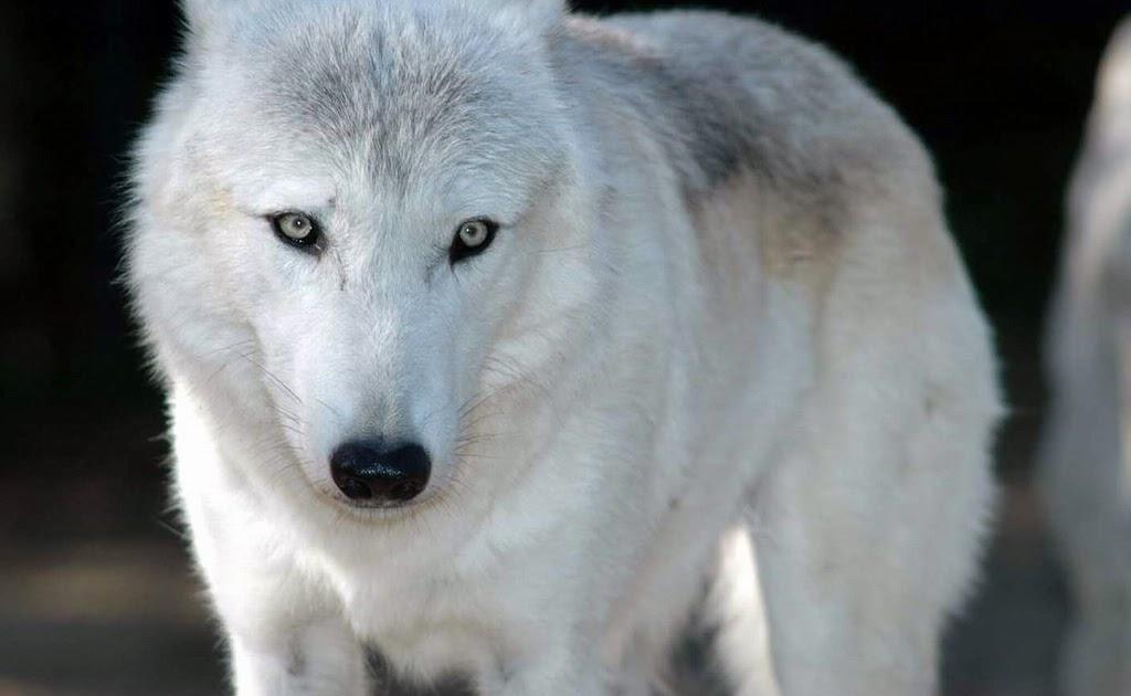 Fotos Geniales: Fotos De Lobos Salvajes