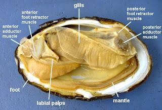 Lla Biology Squid Anatomy