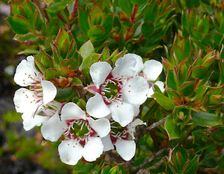 Leptospermum lanigerum, Woolly Tea-tree, Hartz Mountains - 12th January 2008