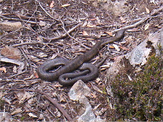 Tiger Snake on track to White Timber Mountain