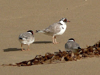 Hooded Plovers, Crescent Bay - 19th August 2008