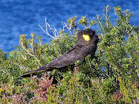 Yellow-Tailed Black Cockatoo, Crescent Bay - 19th August 2008
