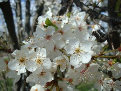 vrtaljica foto behar i cvijeće