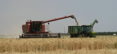 Photo of wheat harvest at Eatwell Farm, California