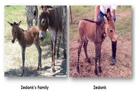 Teacher S Riddle Zedonk Hasil Kepandaian Keledai Dalam Memilih Pasangan Hidup - Perkawinan Zebra, Chimera Dan 18 Hewan Kawin Silang Beda Spesies Yang Berhasil Halaman 2