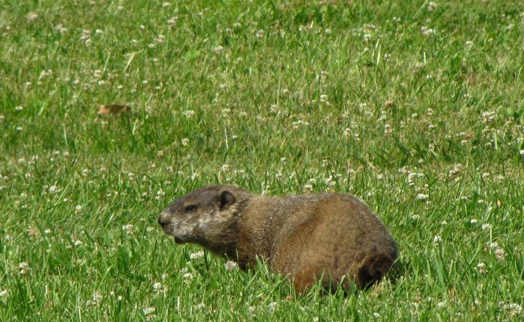The Everyday Adventurer: A Hungry Groundhog