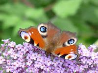 リスル=アダンの森のクジャクチョウ(孔雀蝶) Inachis io