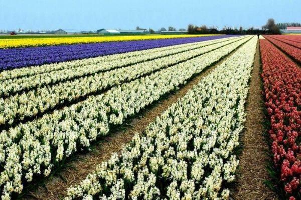Os lindos campos de tulipas da Holanda