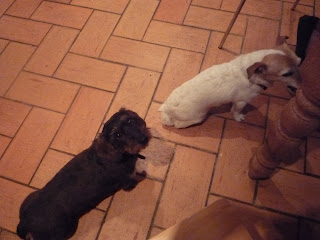 hungry dogs; dachshund; jack russell