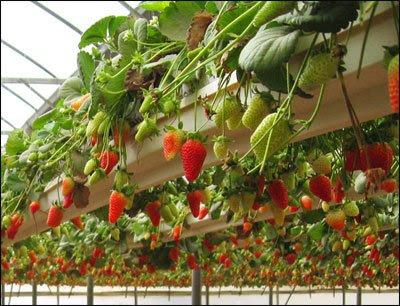 Garden State Negev Desert Strawberry Fields Forever