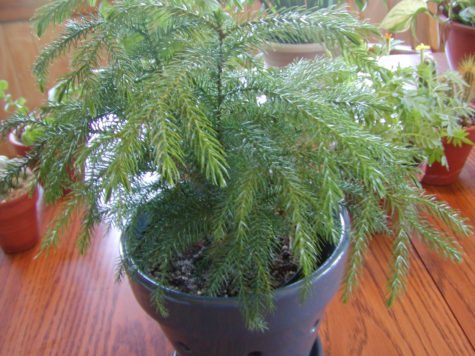 Houseplant Care Guides: Norfolk Island Pine 101