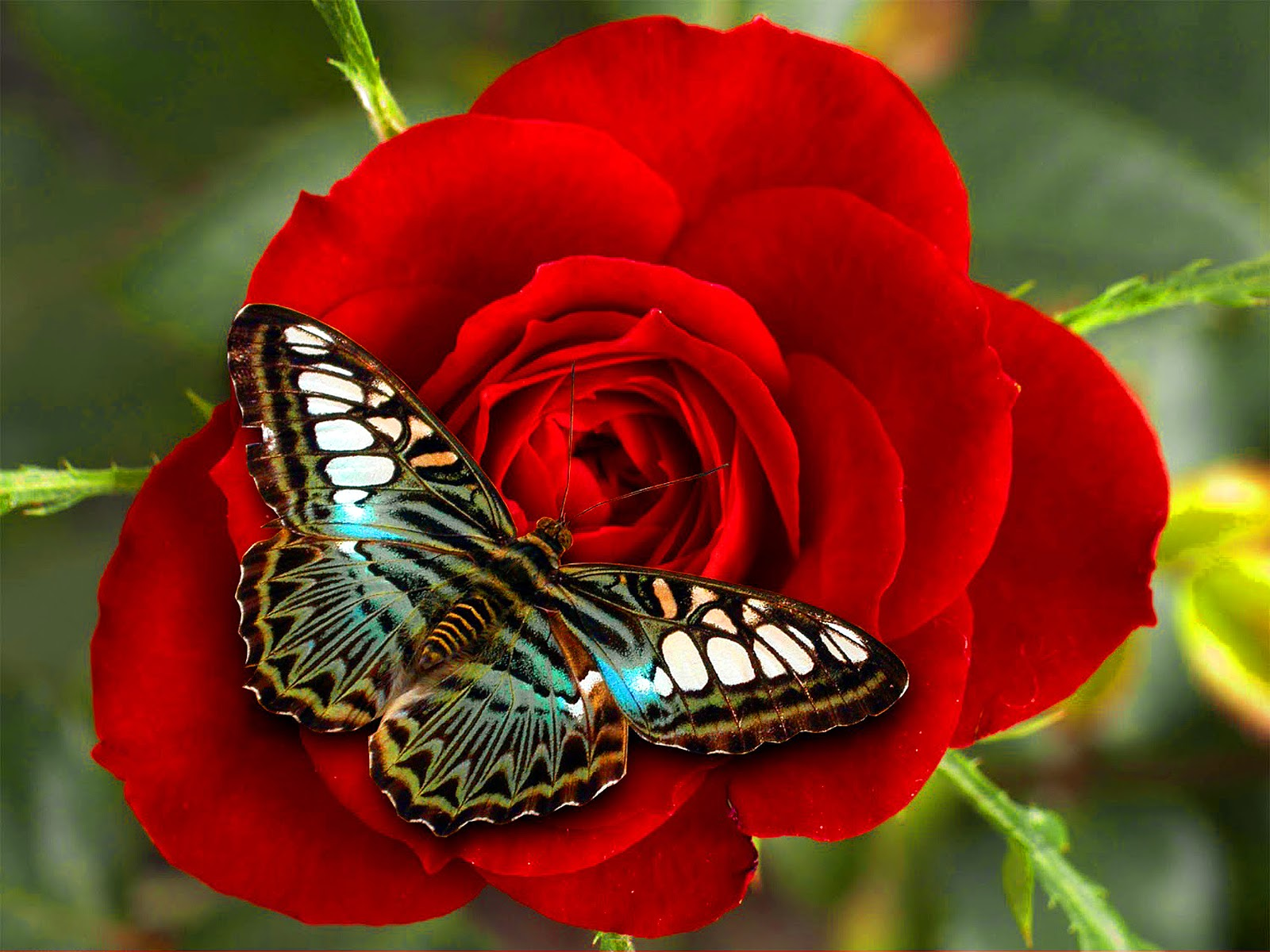 wallpaper butterfly red rose - photo #18