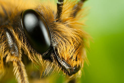 Miner bee at x5 Macro Photography