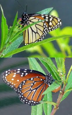 Monarchs, Queens, and Butterfly Mimicry - Birds and Blooms Queen Butterfly Vs Monarch