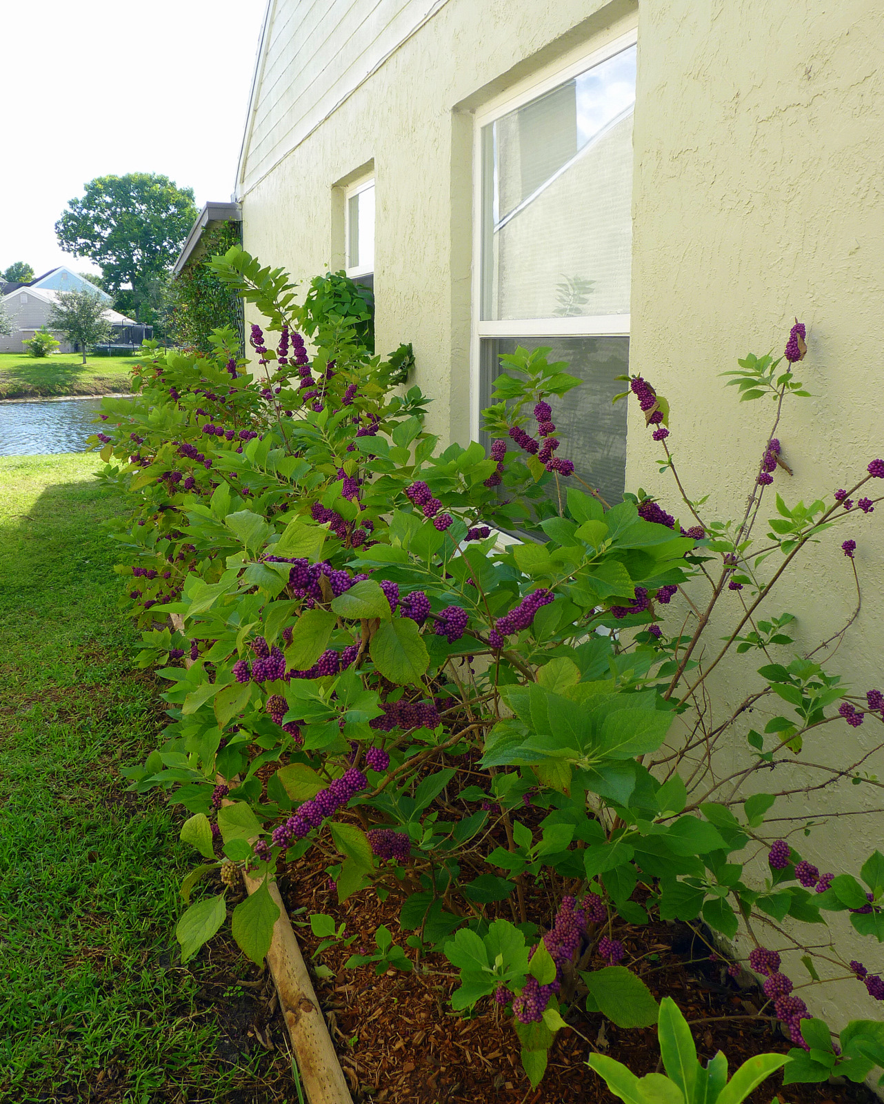 This Is A Por Bush With Native Plant Gardeners Because It S Very Easy To Grow And Nearly Any Nursery Carries