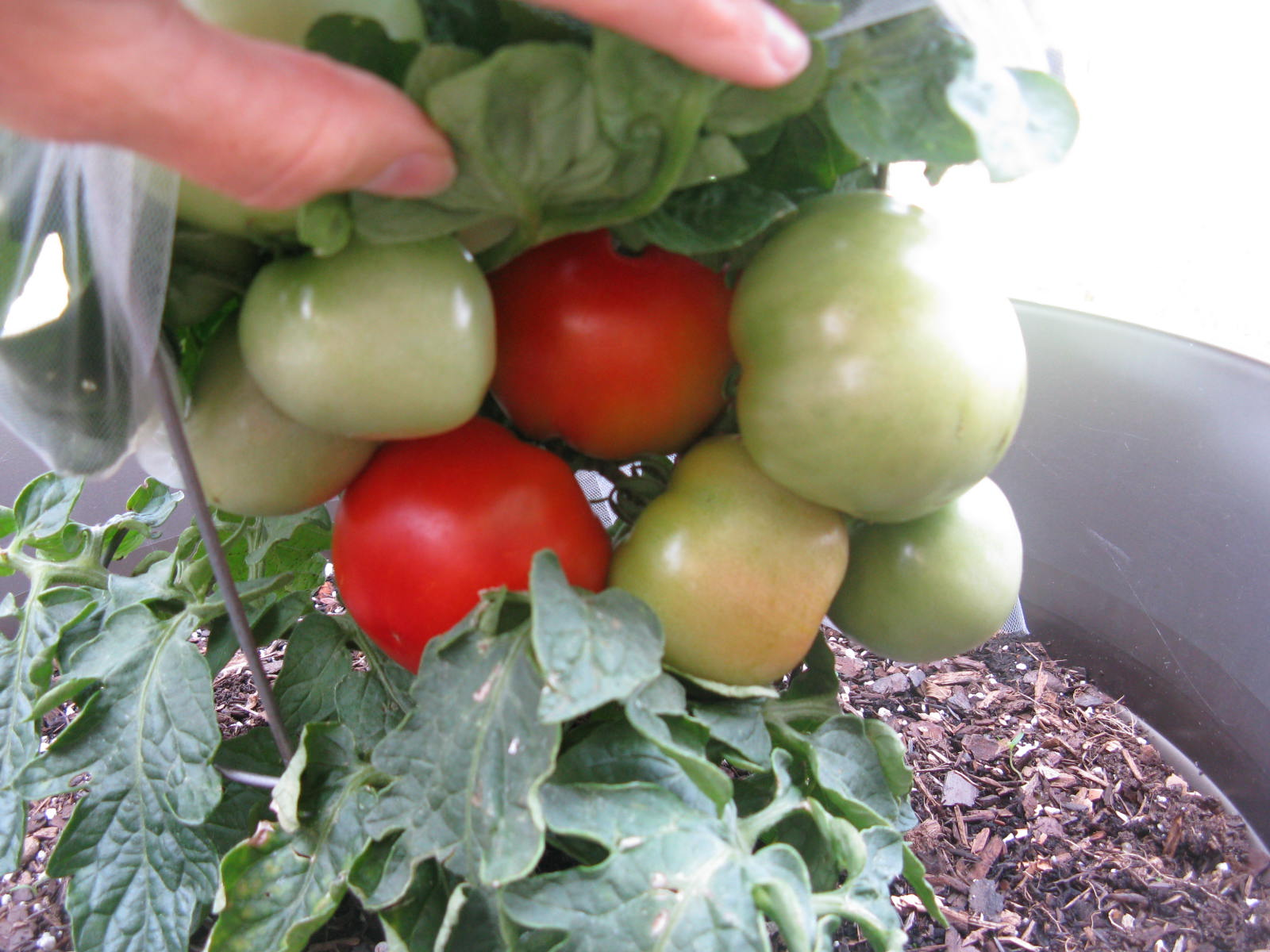 how to protect your tomatoes from birds