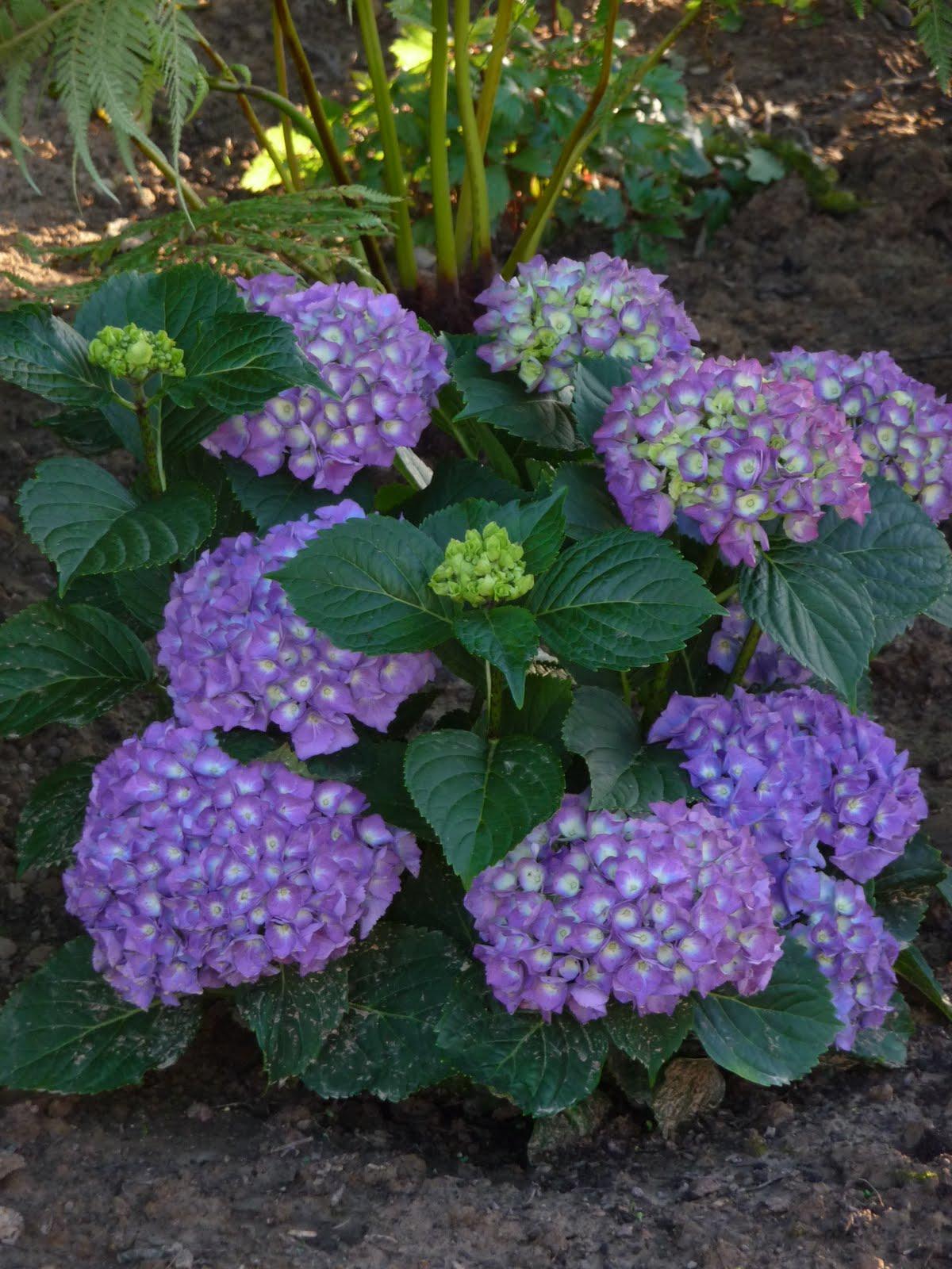 Ma terre de bruy re petit tour de jardin - Terre pour hortensia bleu ...