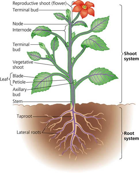 root shoot relationship