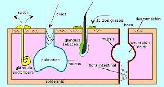 Estructura del aparato inmune