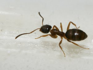 odorous house ant photographed in my bathroom, where it appears to be thriving