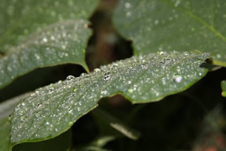 Rain beads on kudzu