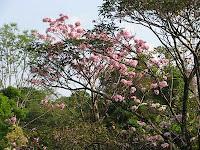 Roble de Sabana flowers